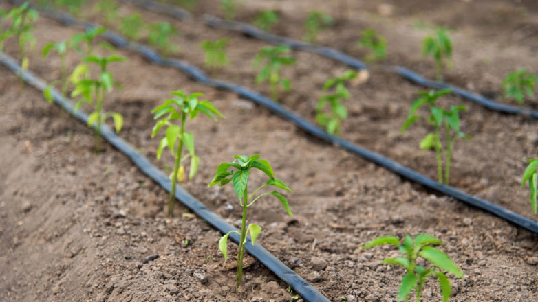 drip irrigation system laying in a garden